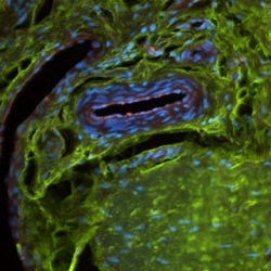 Immunofluorescence stained meniscal tissue250x250